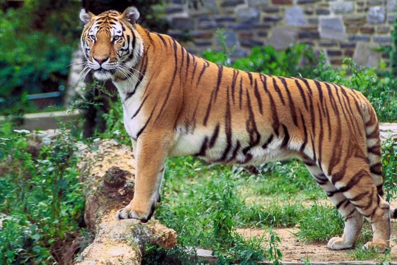 Con hổ trong vườn bách thú